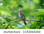 spotted flycatcher sitting and... | Shutterstock . vector #1152063260