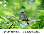 spotted flycatcher sitting and... | Shutterstock . vector #1152063263