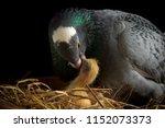 Homing Pigeon Feeding Crop Mil...