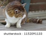 grumpy stray cat. | Shutterstock . vector #1152091133