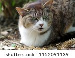 grumpy stray cat. | Shutterstock . vector #1152091139