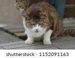 grumpy stray cat. | Shutterstock . vector #1152091163