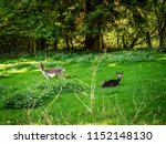 a herd of deer is on a meadow... | Shutterstock . vector #1152148130
