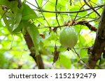 a fresh green raw passion fruit ... | Shutterstock . vector #1152192479
