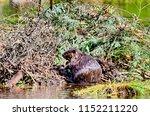 beaver working on beaver lodge   Shutterstock . vector #1152211220