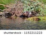 beaver working on beaver lodge   Shutterstock . vector #1152211223