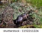 beaver working on beaver lodge   Shutterstock . vector #1152211226