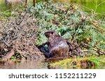 beaver working on beaver lodge   Shutterstock . vector #1152211229