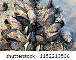 Sea Waves Hitting Wild Mussels...