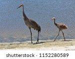 baby sandhill crane   Shutterstock . vector #1152280589
