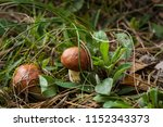 two little boletus in the... | Shutterstock . vector #1152343373