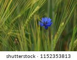 one cornflower grows on a grain ... | Shutterstock . vector #1152353813