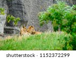 Lion And A Lioness Lie On A...