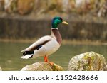 mallard male  duck with... | Shutterstock . vector #1152428666