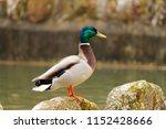 mallard male  duck with... | Shutterstock . vector #1152428666