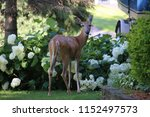 young deer snacking in a... | Shutterstock . vector #1152497573