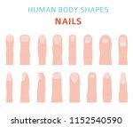 human body shapes. hand finger... | Shutterstock .eps vector #1152540590