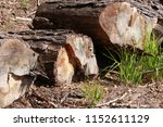 the felled trees in the forest. ... | Shutterstock . vector #1152611129