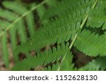 fern leaves  close up. forest ... | Shutterstock . vector #1152628130