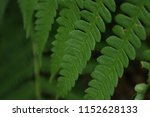 fern leaves  close up. forest ... | Shutterstock . vector #1152628133