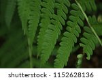 fern leaves  close up. forest ... | Shutterstock . vector #1152628136