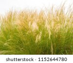 Feather Grass Or Needle Grass ...