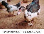 Duck farm background  animal...