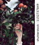 woman's hand picking ripe... | Shutterstock . vector #1152737849
