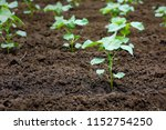 small cotton plant growing | Shutterstock . vector #1152754250