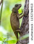 lizard lays on a tree in the... | Shutterstock . vector #1152768413