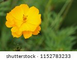 yellow cosmos or cosmos... | Shutterstock . vector #1152783233