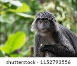 Javan Langur Monkey