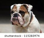 Morose Young English Bulldog...
