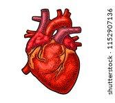 human anatomy heart. vector... | Shutterstock .eps vector #1152907136
