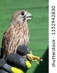 bird ringing   common kestrel ...   Shutterstock . vector #1152942830