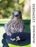 bird ringing   common kestrel ...   Shutterstock . vector #1152942833