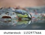 great titmouse in reflection  | Shutterstock . vector #1152977666