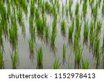 growing rice field | Shutterstock . vector #1152978413
