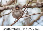 variations in galapagos finches ... | Shutterstock . vector #1152979463