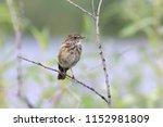 saxicola rubicola. young... | Shutterstock . vector #1152981809