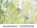 olive trees. olive trees garden.... | Shutterstock . vector #1152992246