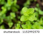 kitchen mint or marsh mint | Shutterstock . vector #1152992570