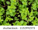 kitchen mint or marsh mint | Shutterstock . vector #1152992573