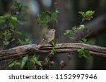 erithacus rubecula  songbird  | Shutterstock . vector #1152997946