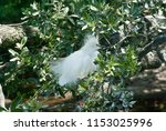 snowy egret in mating plumage... | Shutterstock . vector #1153025996