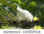 snowy egret in mating plumage... | Shutterstock . vector #1153029116