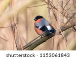 male bullfinch perching on... | Shutterstock . vector #1153061843