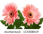 Two Red Gerbera Flower Isolated ...