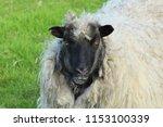shaggy wool sheep portrait in... | Shutterstock . vector #1153100339