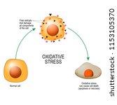 oxidative stress. from normal... | Shutterstock .eps vector #1153105370